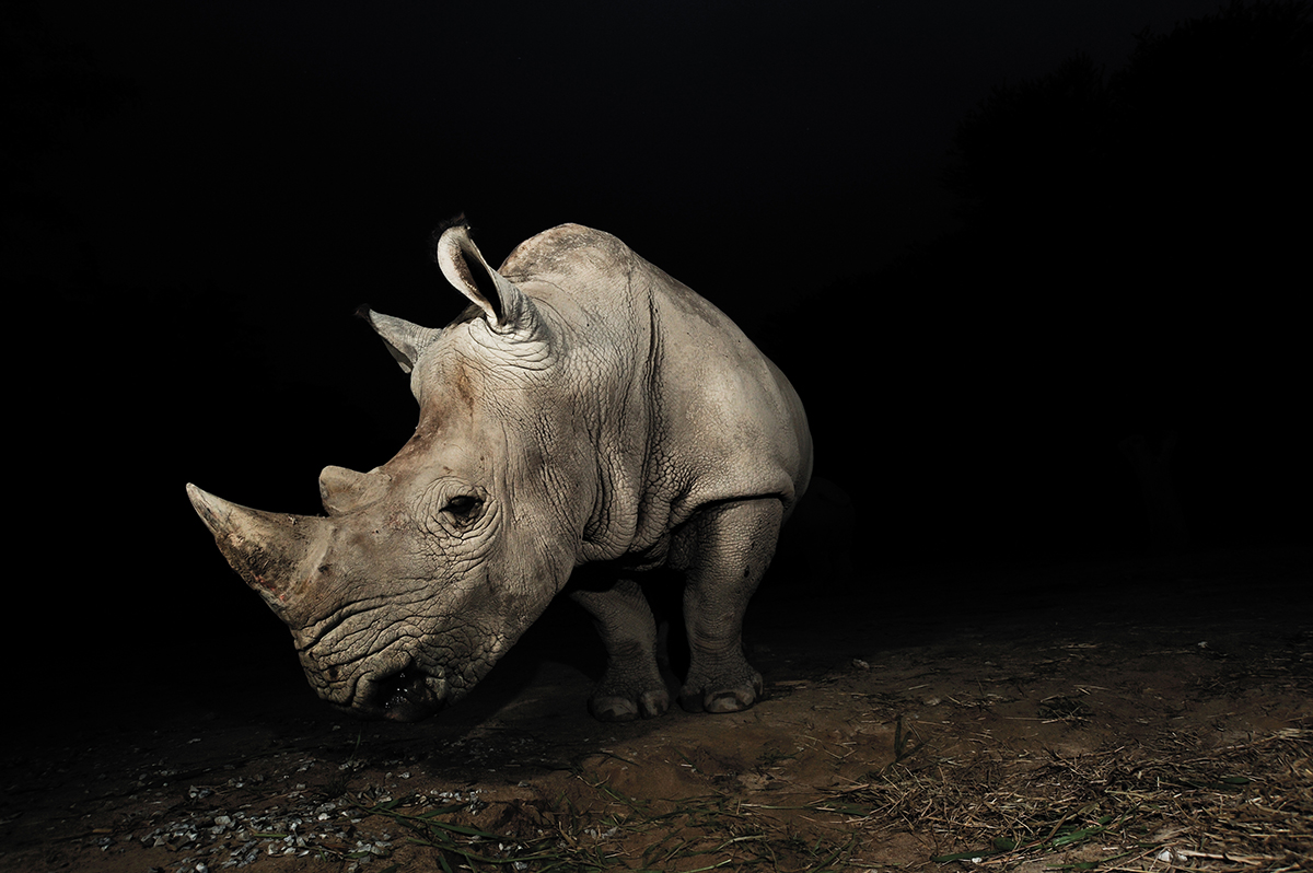 White rhinoceros. Copyright: Warmlight