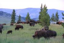 bison on the Flying D, Montana
