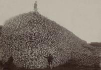 pile of bison skulls to be ground into fertilizer