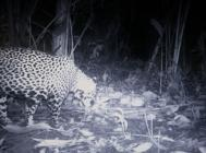Jaguar caught by a camera trap set up by Robert Alexander Euwe with Paso Pacifico in Nicaragua